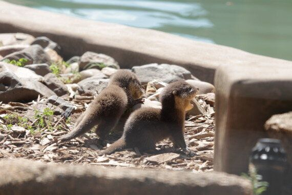 Watch Curious Otter Pups Play With Mum And Dad At Taronga Western Plains