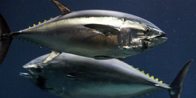 These bluefin tuna have no idea how good they taste with melted