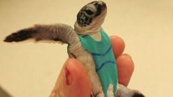 These Turtles Are Wearing Swimsuits Homemade By