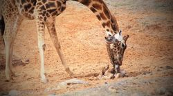 There's A Good Reason Australia Is Having A Giraffe Baby