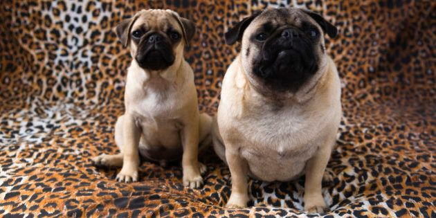 Two Pug dogs sitting against animal print