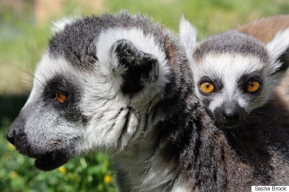 Baby Ring-Tailed Lemur Wins Over Handlers At Taronga