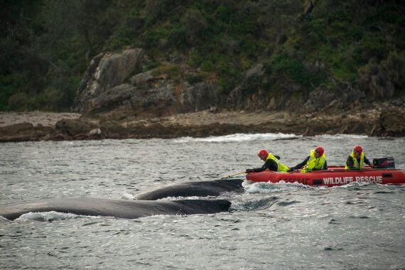 Humpback Whale Freed From Rope On NSW South