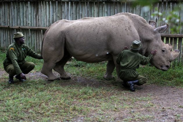 Only three northern white rhinos are known to be in