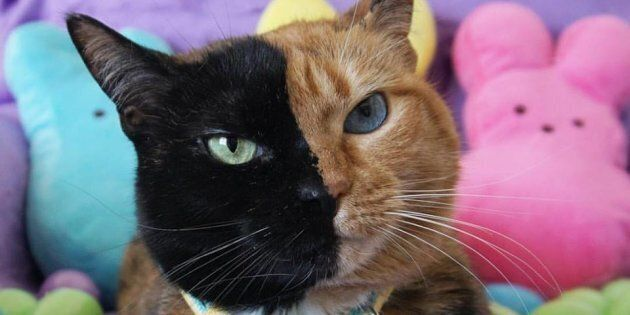 This Two-Faced Cat Is Not Fake News, She's Totally
