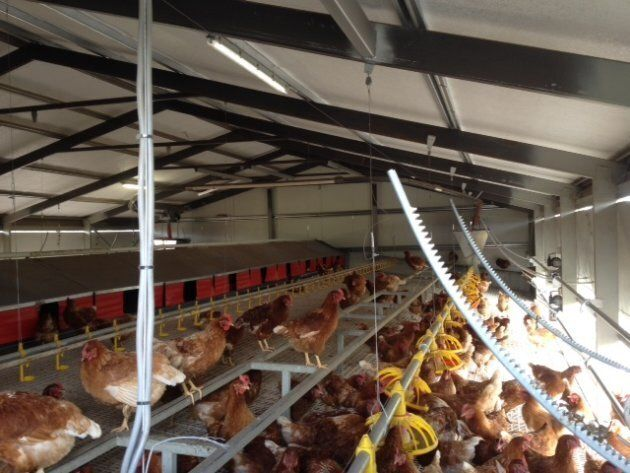 The indoor enclosure at Buckelberry Farm in Victoria, which has a stocking density of 1,500 hens per hectare. This meets the standards of the Humane Society, the RSPCA and Australia's Model Code of Practice.