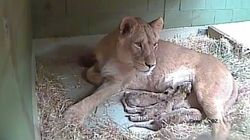 Webcam Shows Lioness Bond With Three Newborn