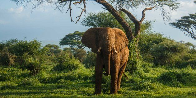 The ivory trade is the single largest threat to the African elephant.