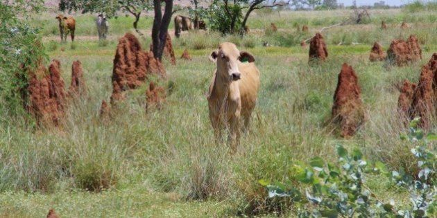 Farmers Use Satellites To Track Cattle, Watch