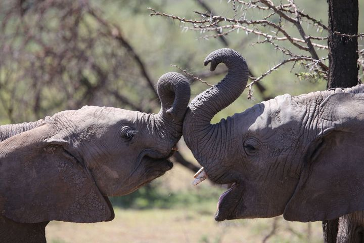 Poole has worked extensively with elephants, as well as many other forms of African wildlife.