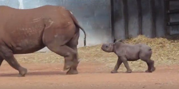 A baby rhino has been revealed at a NSW