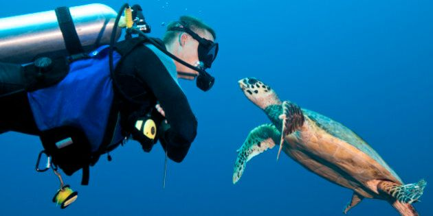 MR male diver (age 27) encounter with a young and curious hawksbill turtle (Eretmochelys imbricata)....