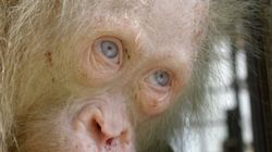 This Extremely Rare Albino Orangutan Was Rescued In South-East