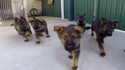 NSW Police Have Just Debuted Their Latest Puppy