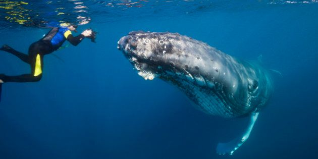 (GERMANY OUT) Snorkeler and Humpback Whale, Megaptera novaeangliae, Silver Bank, Atlantic Ocean, Dominican...