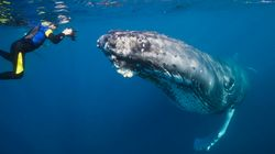 You'll Be Able To Swim With Humpback Whales In Western Australia