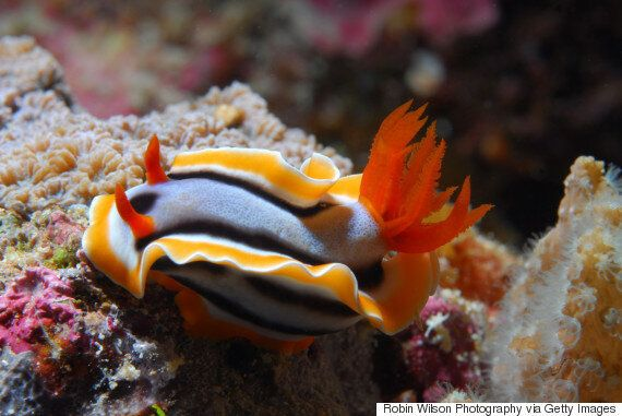 The Great Sea Slug Census Searches For The Butterflies Of The