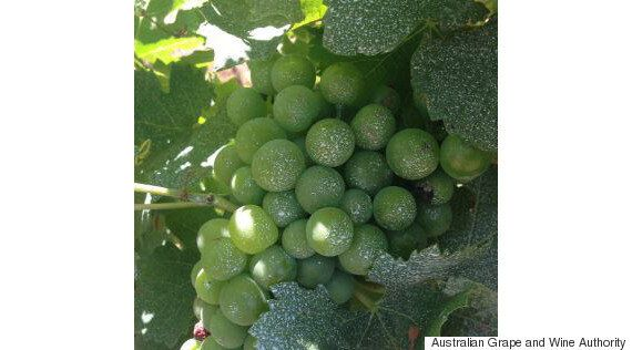 Grape Sunscreen And Heat-Resistant Crops For Winemakers Coping With Climate