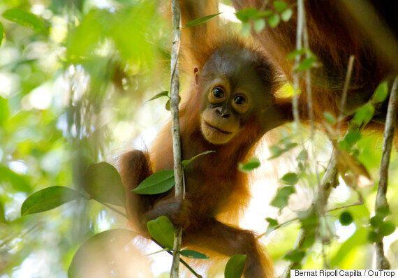 Orangutan Crisis Continues As Bushfires Devastate Borneo,