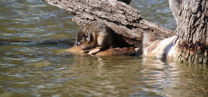 This is Templeton the water rat. He lives in a lake by the Palfreyman's house.