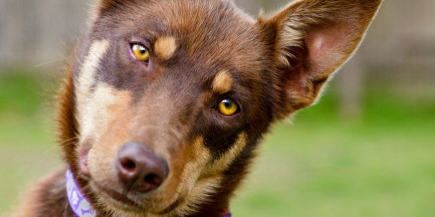 Australian Kelpie, red, working dog, head tilt,