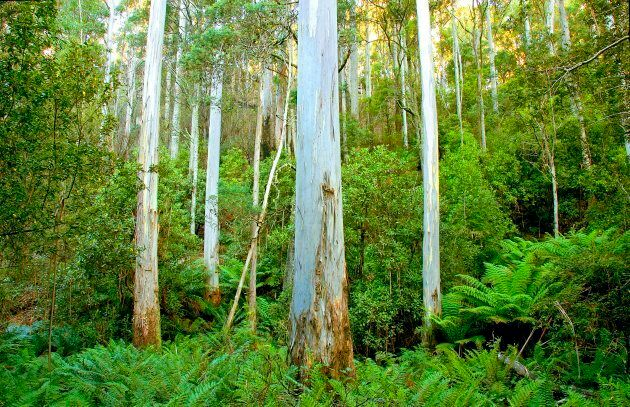 Here's a lovely picture of a Tasmanian forest to make you feel good about the