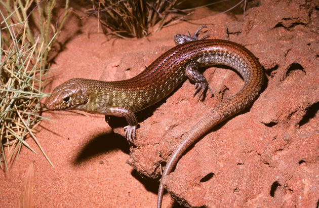It would have been a terrible cliche to put a pic of bleached coral here, so for no particular reason here's a pic of a grand ctenotus lizard instead. These little guys live in the deserts of WA.