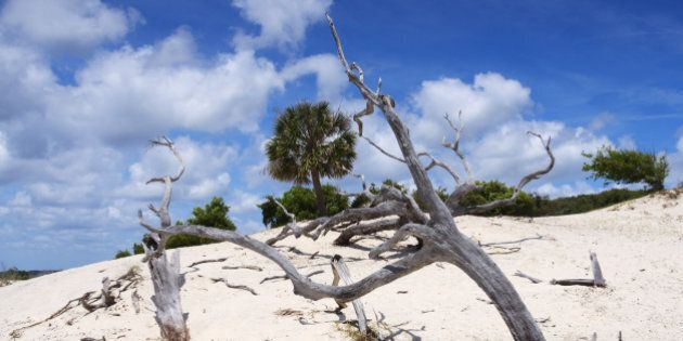 Remains of trees in sand dunes on Cumberland Island,