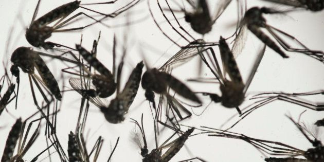 Aedes aegypti mosquitoes sit in a petri dish at the Fiocruz institute in Recife, Pernambuco state, Brazil,...