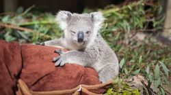 Ridiculously Cute Baby Koala Just Can't Stop Being Ridiculously