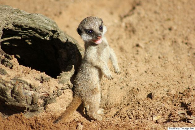 Meerkat Pups Have Been Born At Taronga Zoo And They Are Super