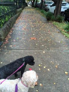 Kipper and Blossom on their way to the dog park in North