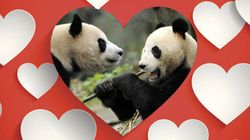 Pregnant Paws: Giant Pandas Waiting On