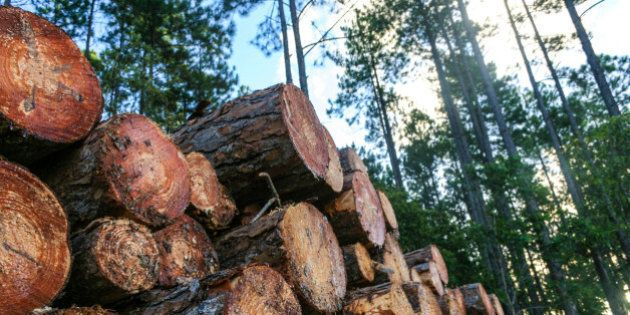 Pine logs cut and stacked ready for transport in a sustainable pine forest plantation.