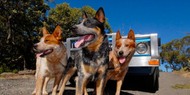 Three Australian Cattle Dogs, one Blue Heeler, two Red Heelers in front of blue and silver ute.