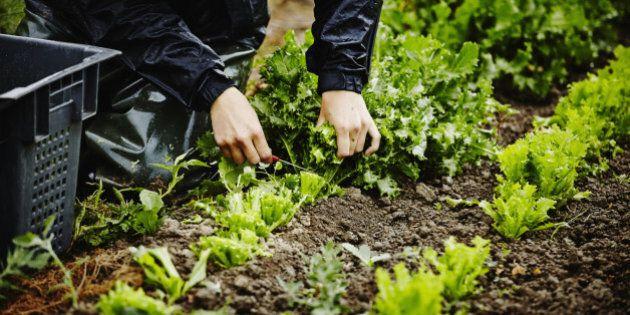 Farmers hands harvesting organic lettuce cutting base of