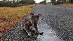 This Little Koala Made It, But At Least 179 Just Like Her
