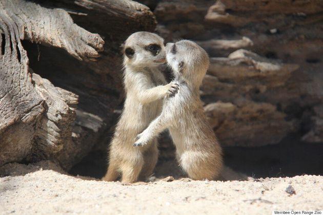 Adorable New Meerkat Pups Make Their First Public Debut At Werribee Open Range
