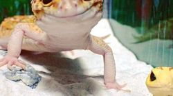 This Gecko Has A Best Friend And He Couldn't Be