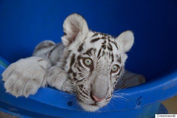 These Very Cute White Tiger Cubs Now Call Australia