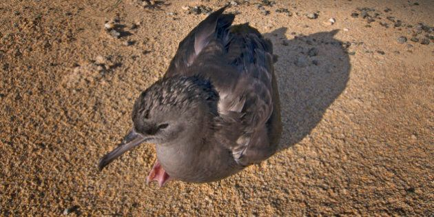 Flesh footed Shearwater chick resting on the beach at Lord Howe