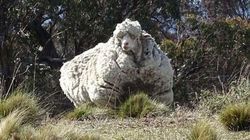 Our Most Famous Sheep Dag Immortalised At National