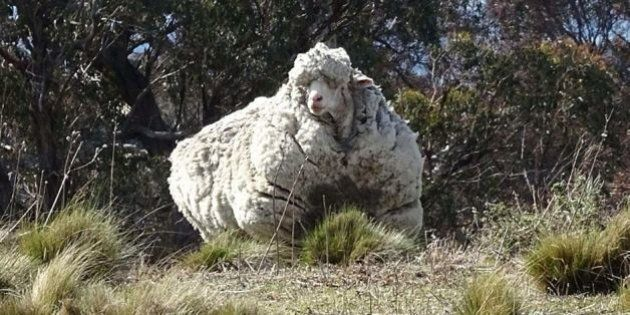 Chris The Sheep's Daggy Fleece Immortalised At National