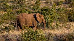 Poacher Crushed To Death By Elephant He Was