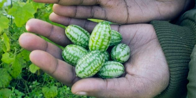 picked mouse melon in hands