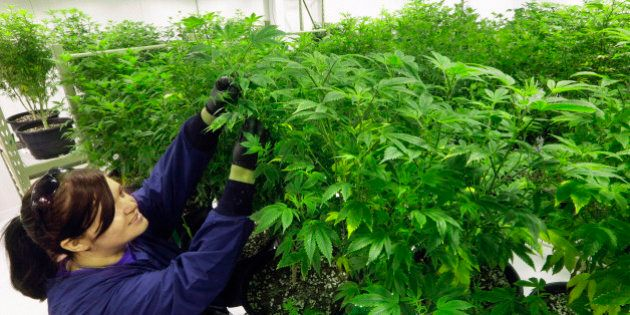 FILE - In this Sept. 15, 2015 file photo, Ashley Thompson inspects marijuana plants inside