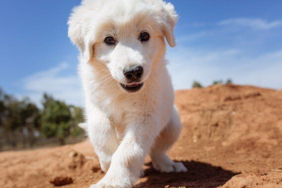 Cute To The Rescue: Guardian Puppies Could Save A Species From