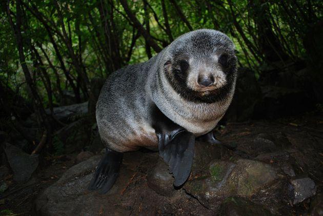 A New Zealand Fur Seal Pup at Ohau Stream, Kaikoura, New