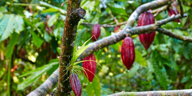 Red cocoa beans on tree in forest
