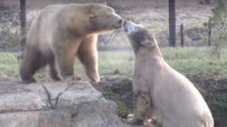 Polar Bears Meet For First Time And Become Instant